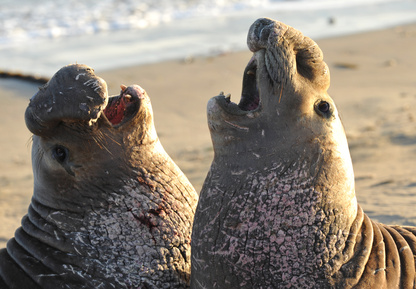 The Weird and Wacky | Elephant Seals
