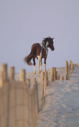 chincoteague-ponies-assateague-island-virginia-